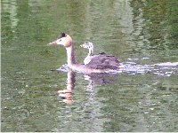 Juvenile Great Crested Grebe hitching a lift