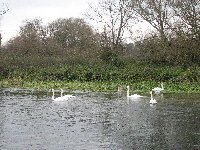 Swans eating Fool's cress