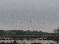 Wildfowl over the flooded meadows