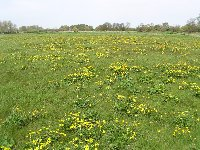 Kingcups in the water meadows