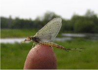 Recently hatched Mayfly