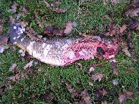 Common carp killed by otter