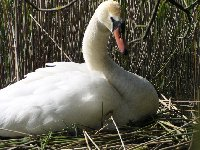 Swan on the nest