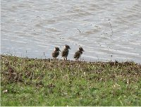 Three juvenile Lapwing