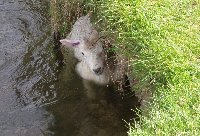 Water logged lamb