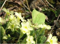 Brimstone on primrose