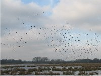 Winter wildfowl