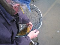 Unhooking a tench