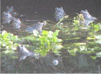 Frogs gathering to spawn