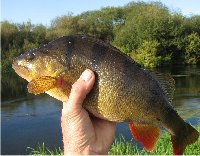 Avon perch
