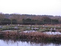 Herons attracted to the fish farm
