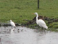 Great white and Little egret