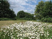 Ox-eye daisies beside the lakes