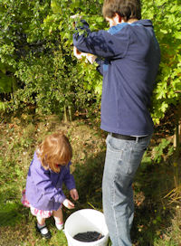 Picking sloes