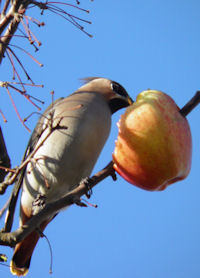 Returning Waxwing