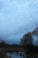 Starlings over the streams
