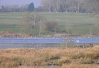 Godwits and wildfowl