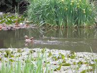 Egyptian goose brood