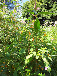 Orange balsam