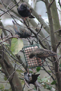 Starlings on fat feeder