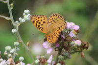 Female Silver-washed Fritillary