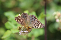 Female Silver-washed Fritillary f Valesina