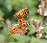 Comma and Fritillary