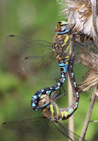 Coupled Migrant Hawkers
