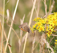 Meadow Brown on ragwort