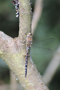 Newly emerged Migrant Hawker