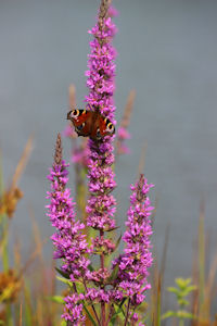 Peacock butterfly on purple loosestrife