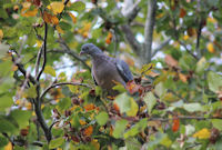 Wood pigeon on beech mast