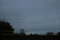 Starling roost flock