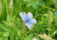 Common Blue Aberration