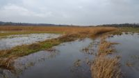Flooded Avon valley reed beds