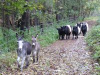 Donkeys and Galloways