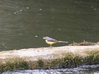 Feeding Grey Wagtail