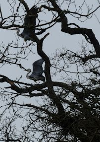 Heronry in full swing