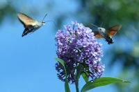 Hummingbird hawk moths