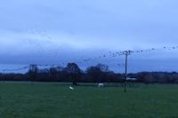 Jackdaws and Rooks pre-roost gathering