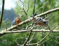 Kingfishers, not quite!