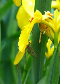 Mayfly sheltering on yelow flag