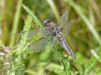 A very old Scarce chaser