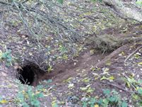 Badger sett bedding change