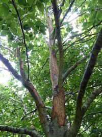 Squirrel damaged beech