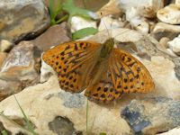 Worn Silver washed fritillary