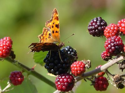 Autumn Comma