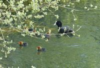 Coot brood