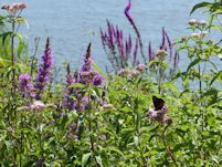 Hemp Agrimony and Purle Loosestrife