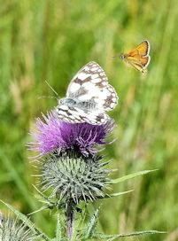 Marbled white and Essex Skipper
